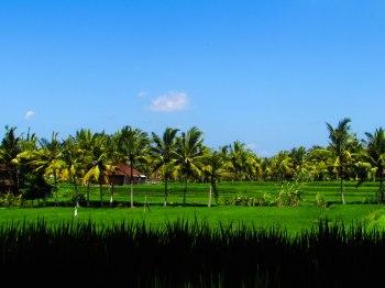 Rice Paddies, Ubud